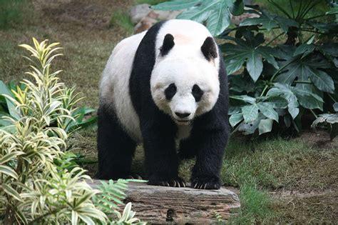 panda panda fauna gue