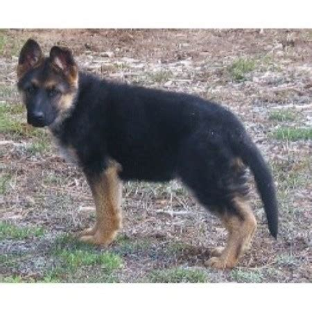 german shepherd puppies salem oregon german shepherd dogs for sale in oregon