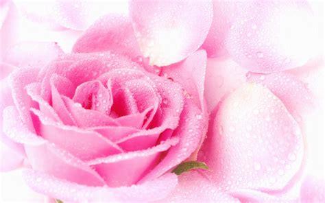 pink wallpaper next next rosa pink wallpaper wallpaper pictures gallery