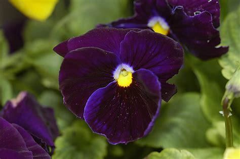 fiori pensiero viola pensiero fiori immagini natura home