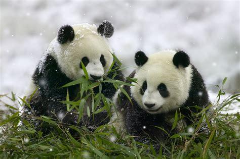 animal wildlife giant panda information  images