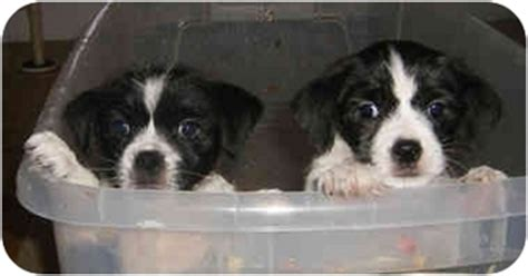 rat terrier shih tzu mix shih tzu rat terrier mix puppies breeds picture
