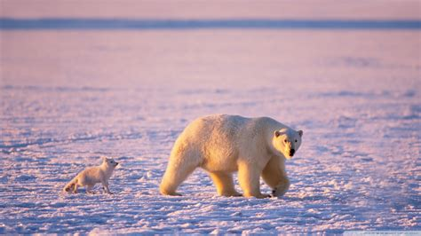 polar and polar cub and arctic fox wallpaper 1920x1080 wallpoper 439052