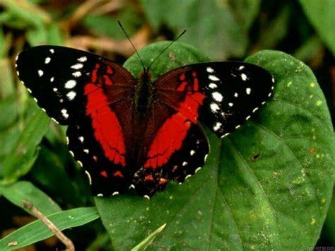 Butterfly Black black butterfly wallpaper 1280x960 11866
