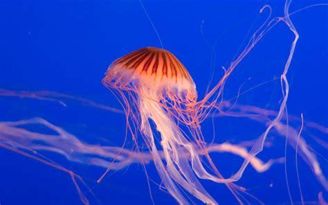 imagenes de uñas artisticas galer 237 a de im 225 genes im 225 genes de medusas