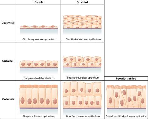 tissue diagram epithelial tissue diagram unlabeled anatomy and