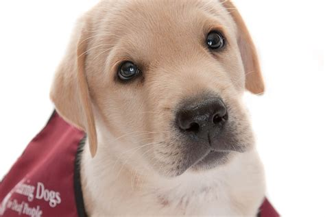 deaf puppy would you abseil the spinnaker tower to raise money for hearing dogs