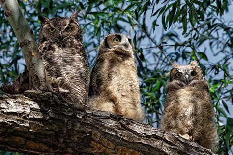 Totebag Owl Family By Bellezzeshop great horned owl family photograph by bishop