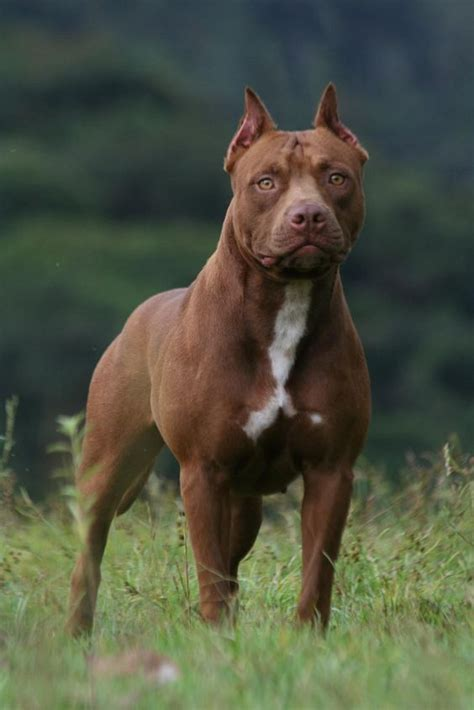 Why Do Pitbulls Shed by Top 10 Most Dangerous Breeds In The World Inside Dogs World