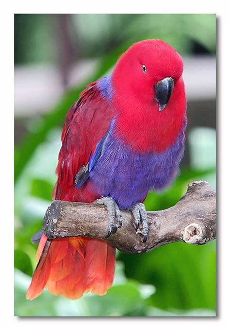 female eclectus parrot birds pinterest