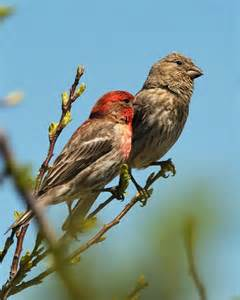 house finch lifespan photo female house finch