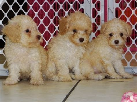 puppies for sale in jackson ms poodle puppies dogs for sale in jackson mississippi ms 19breeders