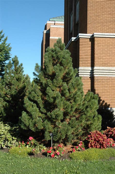 christmas trees glenview il tannenbaum mugo pine pinus mugo tannenbaum in wilmette chicago evanston glenview skokie
