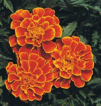 buy marigold seeds