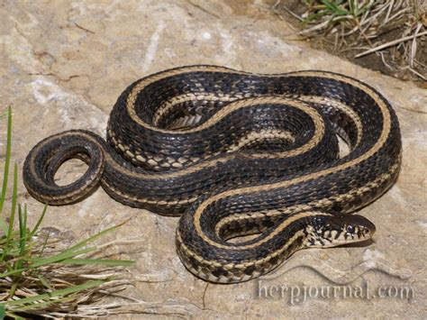 Garden Snake With Yellow Stripe Ophidia At Ohio Studyblue