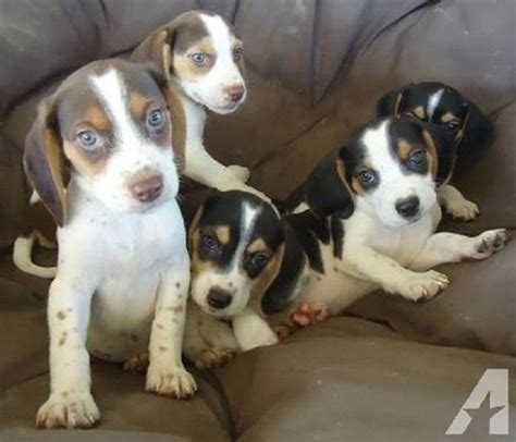 beagle puppies ohio beagle puppies for sale in ohio zoe fans baby animals fans