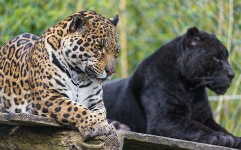 jaguar and cat cats jaguar jaguars panther black jaguar hd wallpaper