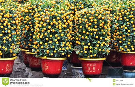 new year oranges with leaves potted orange trees stock photo image of golden