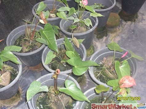 Indoor House Plants For Sale by Anthurium Plants With Net House For Sale