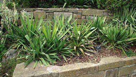 garten yucca yucca palmen pflegen so erhalten sie grosse gesunde pflanzen