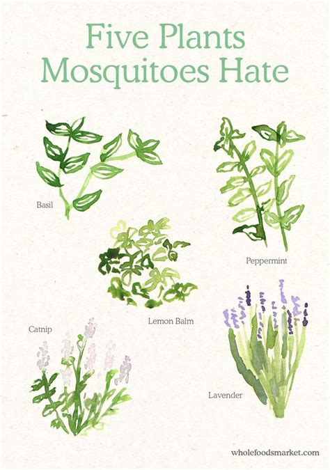 what plants keep mosquitoes away 17 mejores ideas sobre anti mosquito plants en pinterest