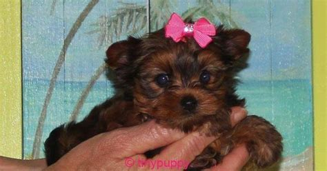 tiny teacup yorkies for sale in arkansas teacup yorkie puppy for sale in point comfort tiny yorkie puppies for sale