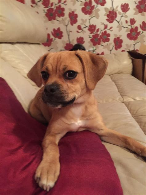 puggle puppy for sale puggle puppy for sale redditch worcestershire pets4homes