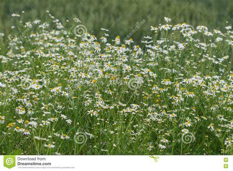fiore della camomilla fiore della camomilla di cereale fioritura mayweed