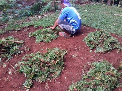 Bibit Rumput Gajah Mini harga bibit rumput gajah mini jual rumput gajah mini