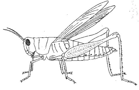 diagram of a grasshopper with label grasshopper dissection
