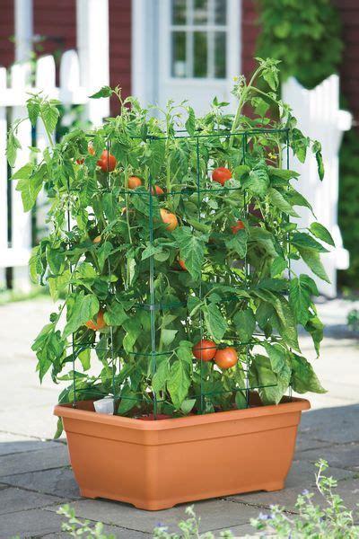 coltivare in vaso 17 migliori idee su giardino di pomodori su