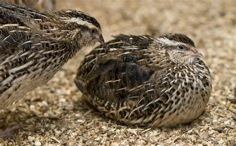quail are big things ahead for a tiny bird in the u s