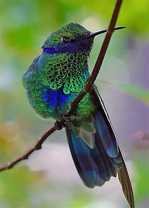 1115 best ideas about hummingbirds on pinterest