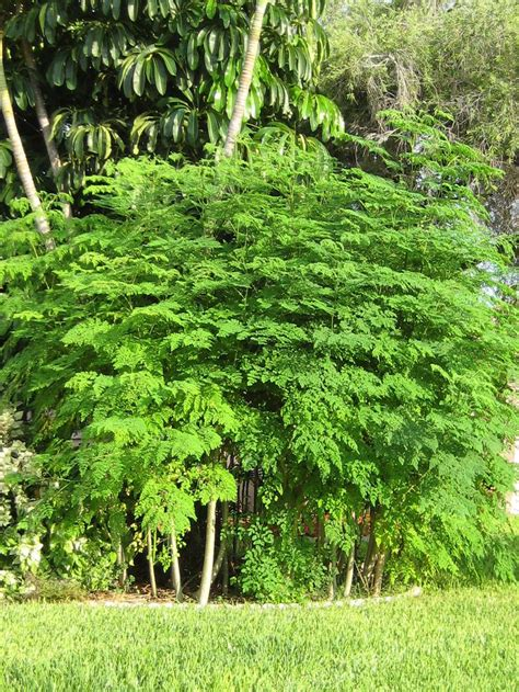 Teh Moringa the miraculous moringa tree it can be used for headaches colds malaria high blood pressure