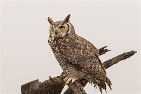 owl symbolism pure spirit o w l tire driveeasy co