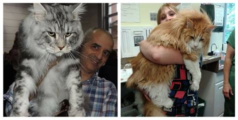 biggest house cat meet the 15 biggest domestic cats on earth