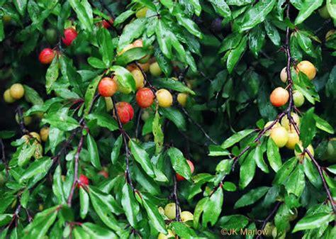 fruit bearing trees identification namethatplant net drupe images