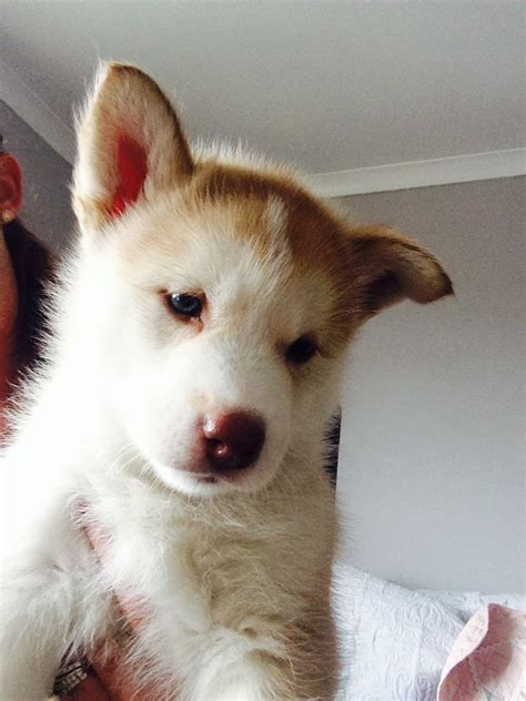 white husky puppies for sale 4 white husky puppies for sale crawley west sussex pets4homes