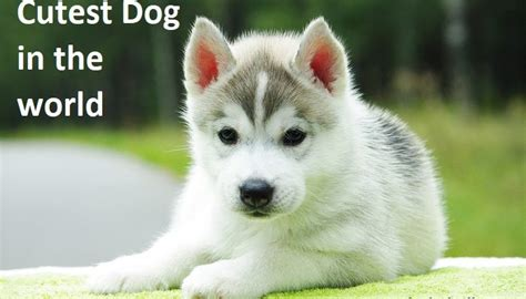 cutest breed in the world top 10 cutest breeds in the world breed dogs spinningpetsyarn