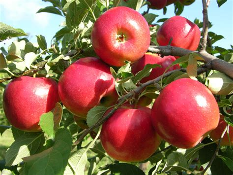 images of trees with fruits 12 popular fruit bearing trees that are easy to grow the