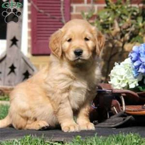 golden retriever breeders in ny golden retriever breeders near syracuse ny dogs in our photo