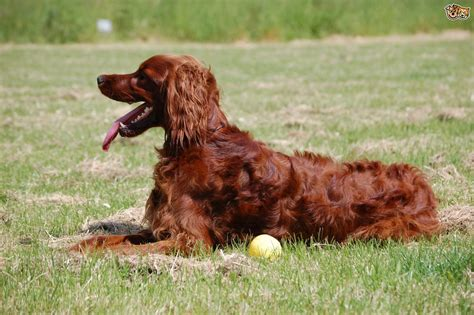 irish setter dog coat what is a spay coat and why are irish setters so affected