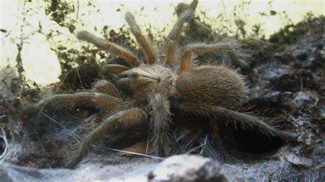 fastest spider  socotra island blue baboon trio monocentropus balfouri inferion youtube