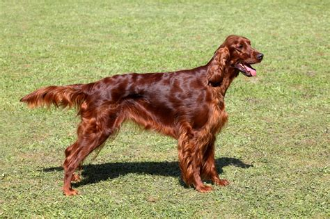 irish setter dog characteristics irish setter dog breed information buying advice photos