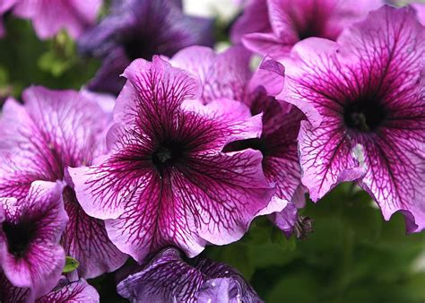 how to grow petunias that will bloom all summer