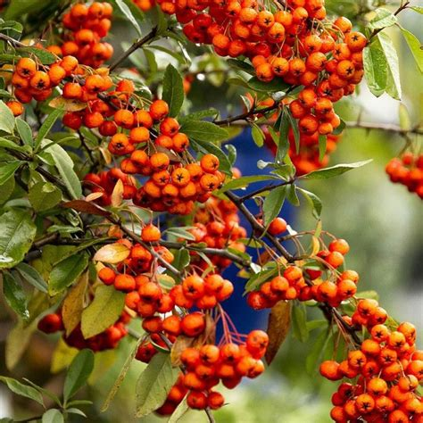 get double duty with this stunning shrub yukon belle