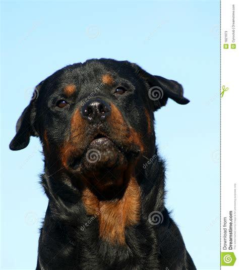 rottweiler barking barking rottweiler stock photos image 1821973