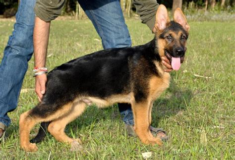 german shepherd puppies price german shepherd puppies for sale anil rana 1 14186 dogs for sale price of