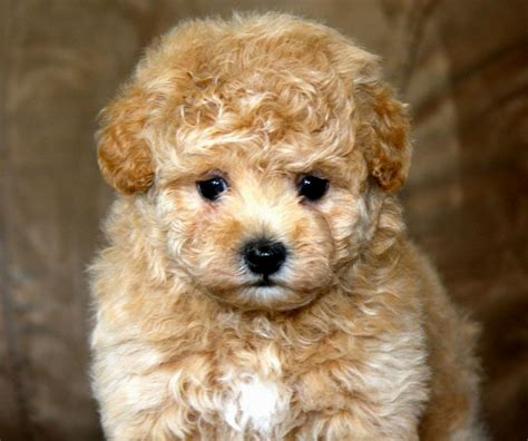 maltipoo puppies michigan apricot maltipoo puppies puppies puppy