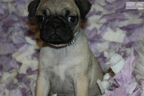 black pugs for sale in missouri pug puppy for sale near joplin missouri 08c76b58 5ad1
